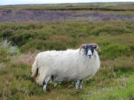 Regal-looking sheep in North Yorkshire :)