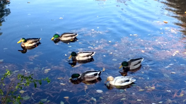 ducks-waterlow